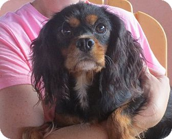 Cavalier King Charles Spaniel Dog for adoption in Greenville, Rhode Island - Ivy