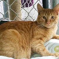 Domestic Shorthair Cat for adoption in Freeport, New York - Sweet Potatoe
