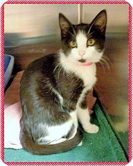 Domestic Shorthair Kitten for adoption in Marietta, Georgia - ANGELA