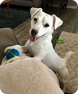 Jack Russell Terrier Dog for adoption in Austin, Texas - Miss Preston in Dallas