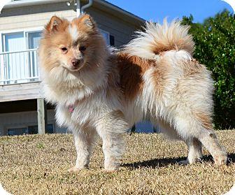 Pomeranian Dog for adoption in Oriental, North Carolina - Boomer New Leash on Life