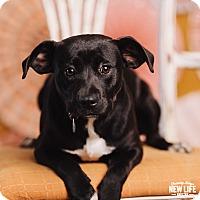Adopt A Pet :: Molly - Portland, OR