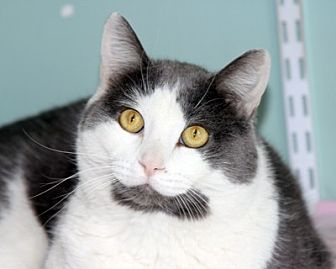 Domestic Shorthair Cat for adoption in Harrison, New York - Rocky
