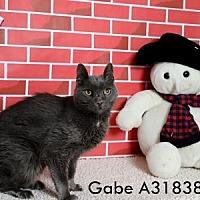 Adopt A Pet :: GABE - Reno, NV