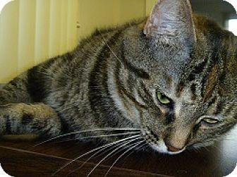 Domestic Shorthair Cat for adoption in Hamburg, New York - Almond Joy