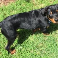 Adopt A Pet :: Roman - Irmo, SC