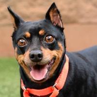 Adopt A Pet :: Minnie - Sedona, AZ