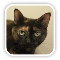 Domestic Shorthair/Domestic Shorthair Mix Cat for adoption in Ithaca, New York - Nikki 22228-c