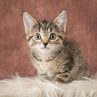 Domestic Shorthair Kitten for adoption in Columbia, Illinois - Guppy