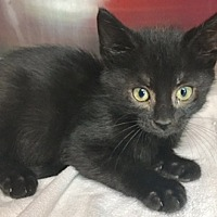 Adopt A Pet :: Major - Wilmington, OH