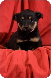 Rottweiler/German Shepherd Dog Mix Puppy for adoption in Portland, Oregon - Kringle