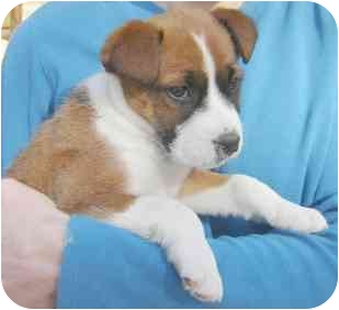 Boxer Mix Puppy for adoption in Wake Forest, North Carolina - Trinity