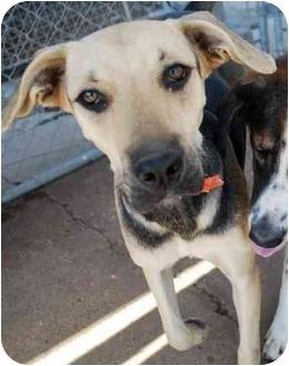 German Shepherd Dog Mix Puppy for adoption in Arkadelphia, Arkansas - Sabrina