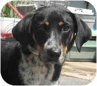 Hound (Unknown Type)/Spaniel (Unknown Type) Mix Dog for adoption in Jacksonville, Florida - Boone