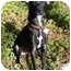 Photo 1 - Italian Greyhound/Chihuahua Mix Dog for adoption in Van Nuys, California - Sushu