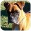 Photo 1 - Boxer Dog for adoption in Gainesville, Florida - Hemi