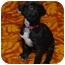 Photo 1 - Shepherd (Unknown Type) Mix Puppy for adoption in Westminster, Colorado - Willow