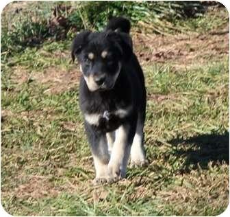 Australian Shepherd Mix Puppy for adoption in Foster, Rhode Island - Teddy Bear