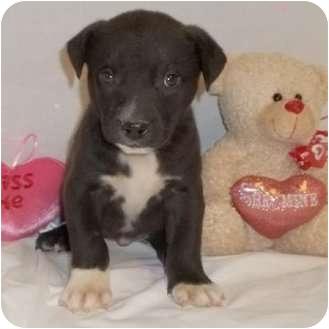 American Bulldog Mix Puppy for adoption in Bel Air, Maryland - Ellery