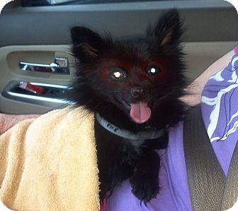 Pomeranian Dog for adoption in Hazard, Kentucky - Freddy