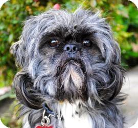 Shih Tzu Mix Dog for adoption in Encino, California - Harpo
