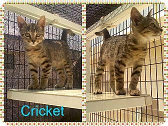Domestic Shorthair Kitten for adoption in Corpus Christi, Texas - Cricket