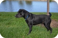 Labrador Retriever Mix Dog for adoption in Lewisville, Indiana - BJ