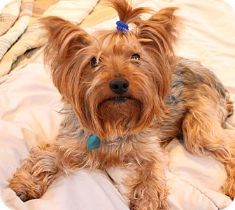 Yorkie, Yorkshire Terrier Mix Dog for adoption in Kalamazoo, Michigan - Boomer - Lindsey