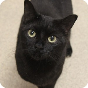 Domestic Shorthair Cat for adoption in Naperville, Illinois - Tink