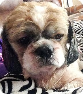 Shih Tzu Puppy for adoption in Oswego, Illinois - Chloe