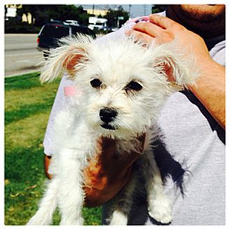 Maltese/Terrier (Unknown Type, Small) Mix Puppy for adoption in West LA, California - Tessa
