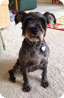 Schnauzer (Standard) Mix Dog for adoption in Salem, Oregon - Maggie
