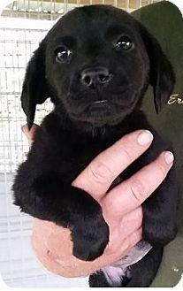 Labrador Retriever/Plott Hound Mix Puppy for adoption in Gainesville, Florida - Arlene Fowler