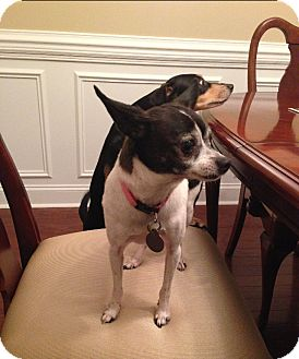 Chihuahua Mix Dog for adoption in Chattanooga, Tennessee - Tinker