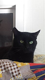Domestic Shorthair Cat for adoption in Clarkson, Kentucky - Ronald