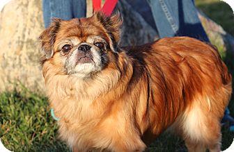 Pekingese/Pug Mix Dog for adoption in Elyria, Ohio - Monkey