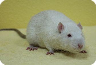 Rat for adoption in Benbrook, Texas - Pluto