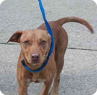 Hound (Unknown Type)/Labrador Retriever Mix Dog for adoption in Jersey City, New Jersey - Tyra Collette