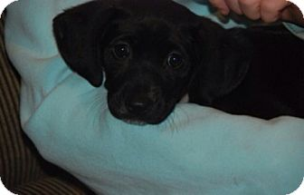 Labrador Retriever Mix Puppy for adoption in Rockville, Maryland - Lila