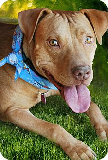Bulldog/Labrador Retriever Mix Dog for adoption in Phoenix, Arizona - RILEY