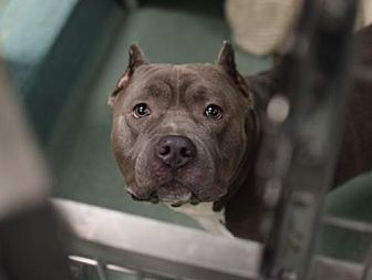 American Pit Bull Terrier Mix Dog for adoption in Manhattan, New York - Jay