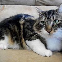 Domestic Mediumhair Cat for adoption in Castro Valley, California - Oliver
