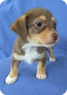 Havanese/Chihuahua Mix Puppy for adoption in Lawrenceville, Georgia - Delta
