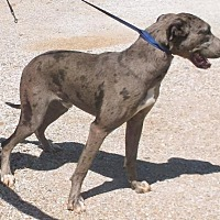 Adopt A Pet :: Trigger - Birch Tree, MO