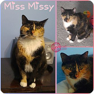 Domestic Mediumhair Cat for adoption in Jeffersonville, Indiana - Miss Missy
