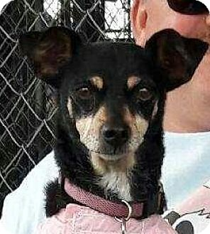 Miniature Pinscher/Italian Greyhound Mix Dog for adoption in Victorville, California - Fannie