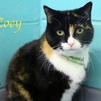 Adopt A Pet :: Zoey - Bradenton, FL