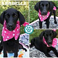 Adopt A Pet :: Arabelle - Kimberton, PA