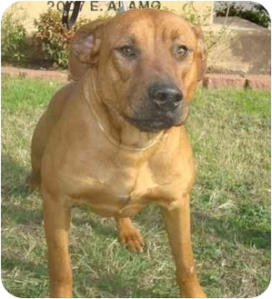 Boxer/Labrador Retriever Mix Dog for adoption in Brenham, Texas - Sebastin