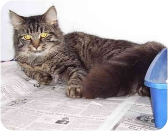Domestic Shorthair Cat for adoption in Somerset, Pennsylvania - Isabell